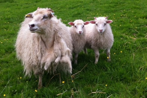 Brachmont Meoldia and lambs, Olaf and Olafina