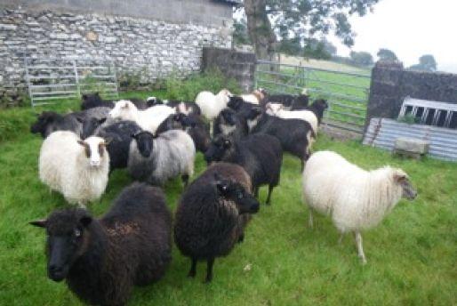 Honorwood Flock ewes - summer 2013