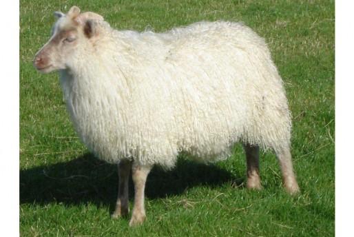 Kindrochaid ewe lamb 01101
