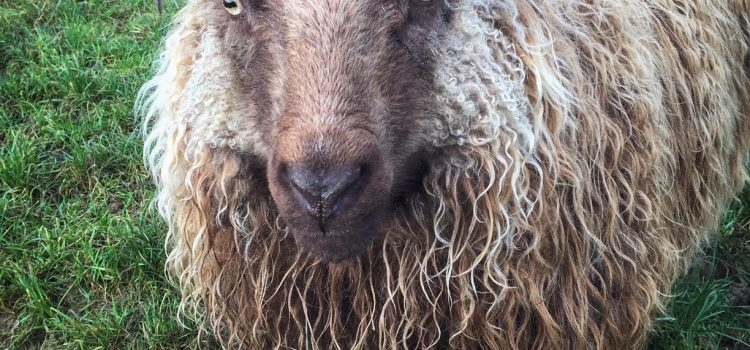 Icelandic Sheep – Buying guide