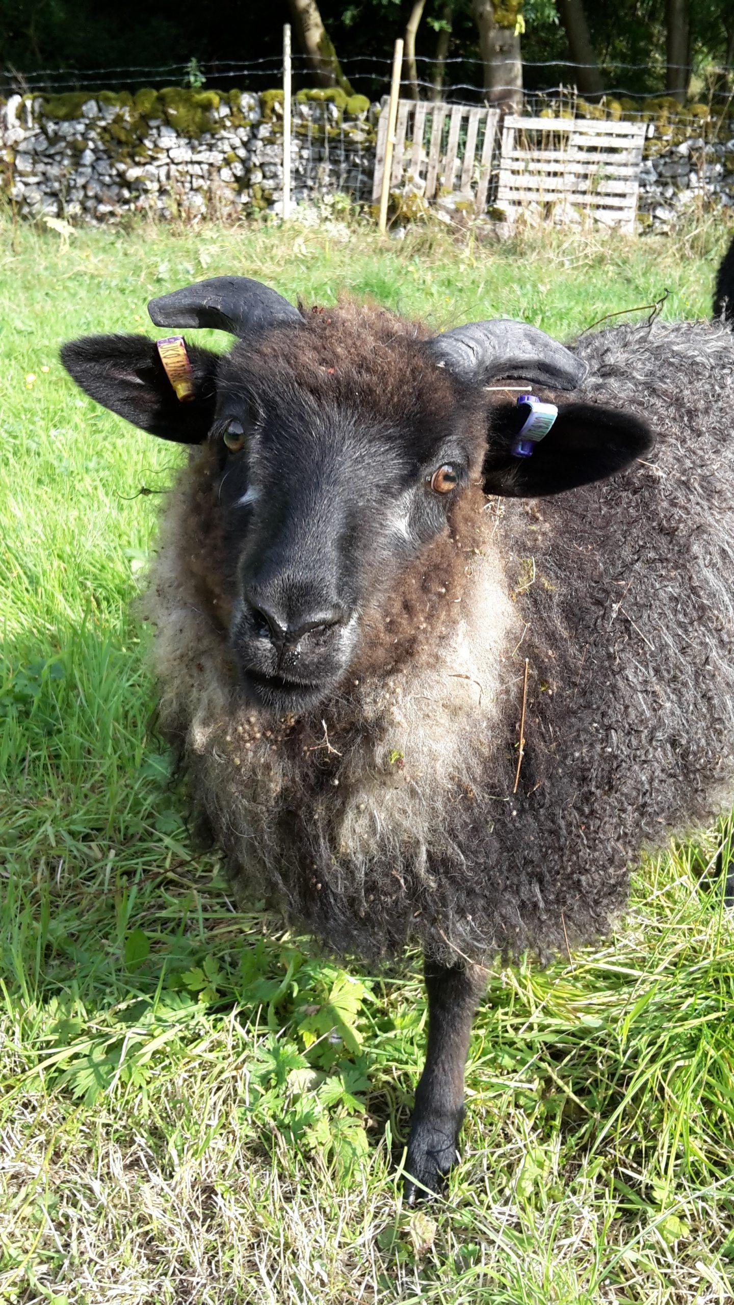 The Devious Flock - Icelandic Sheep