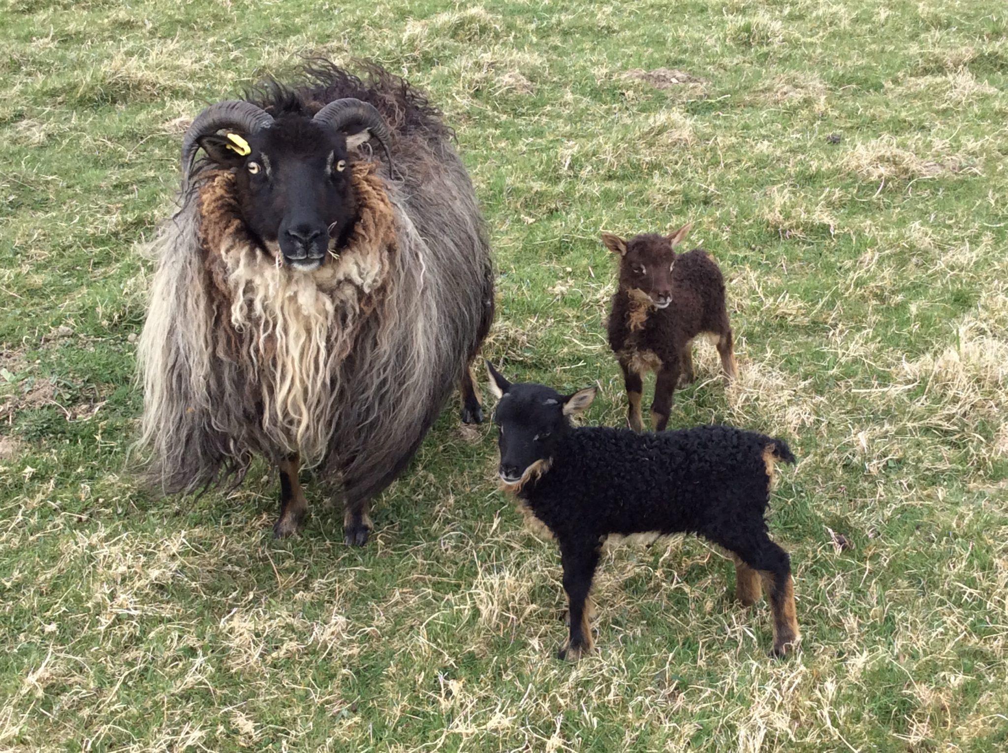 Icelandic sheep with lambs.