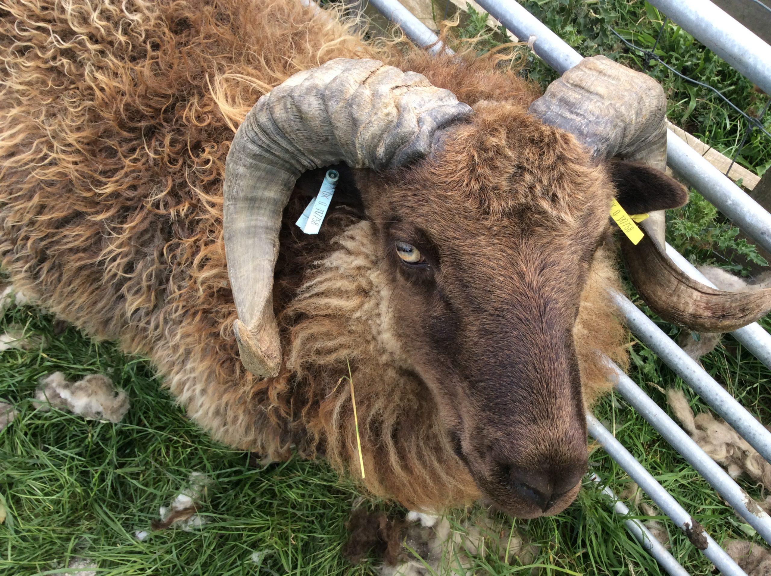 Muggleswick Ram 1 - pic 2