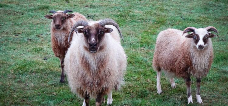 A breeder's story: Knoweside Flock