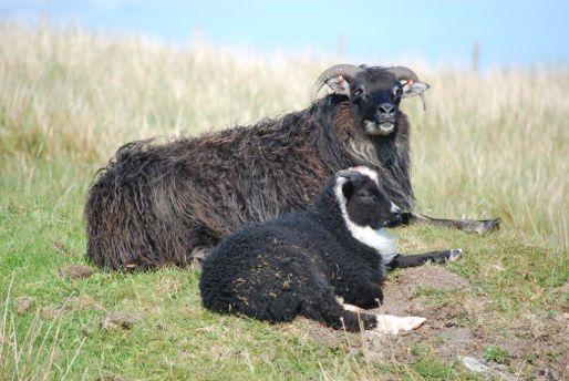 2011tup_lambs_22